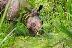 Rhino in Nepal - stock photo
