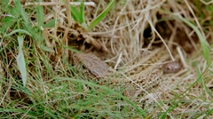Common lizard who hides in grass Stock Footage