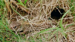 A brown common lizard Stock Footage