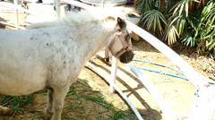 Dwarf horse in stable in ranch Stock Footage