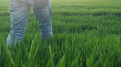 Farmer walking in green wheat field examining crops growth Stock Footage