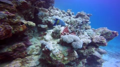 Arabian angel fish over colorful coral reef. Stock Footage