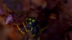 Wasp eating (BMCC 2.5K - 2400x1350) Stock Footage