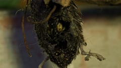 Maggots inside the body (BMCC 2.5K - 2400x1350) Stock Footage