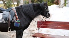Black saddled horse tied and eats cold snow at winter day Stock Footage