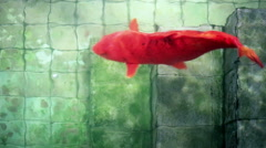 Soft focused big red Koi carp fish, in old wishing well pond - stock footage