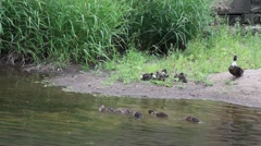 Mother duck and her baby ducks swimming Stock Footage