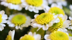 Close up with of bunch of fresh beautiful chamomiles Stock Footage