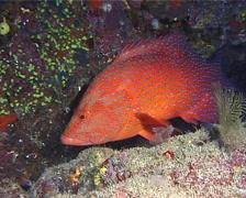 Coral cod, Cephalopholis miniata, UP11135 Stock Footage
