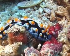 Lumpy black blue orange slug walking, Phyllidia coelestis, UP11154 Stock Footage
