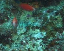 Juvenile Dotted wrasse hovering, Cirrhilabrus punctatus, UP11160 Stock Footage