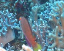 Dotted wrasse swimming, Cirrhilabrus punctatus, UP11180 Stock Footage