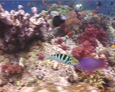 Sixbar wrasse swimming, Thalassoma hardwicke, UP11173 Stock Footage