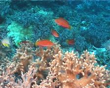 Dotted wrasse swimming, Cirrhilabrus punctatus, UP11181 Stock Footage