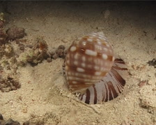 Brown striped snail walking at night, Malea pomum, UP11192 Stock Footage