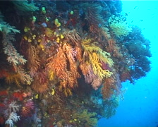 Rainbow hanging soft coral feeding, Chironephthya sp. Video 11201. Stock Footage