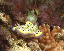 Purple spot skirt lifter slug walking, Chromodoris kuniei, UP11205 Stock Footage