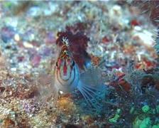 Dwarf hawkfish swimming, Cirrhitichthys falco, UP11220 Stock Footage