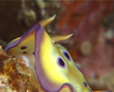 Purple spot skirt lifter slug walking, Chromodoris kuniei, UP11206 Stock Footage