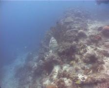 Malabar grouper swimming in deep water passage, Epinephelus malabaricus, UP11253 Stock Footage