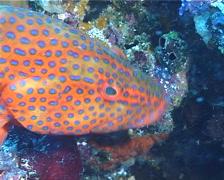 Coral cod hovering, Cephalopholis miniata, UP11284 Stock Footage