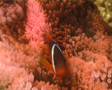 Fiji tomato clownfish swimming, Amphiprion barberi, UP11280 Stock Footage