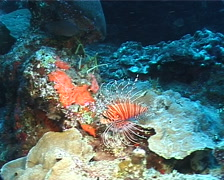 Ragged-fin lionfish swimming, Pterois antennata, UP11331 Stock Footage