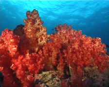 Variable soft coral feeding at dusk, Dendronephthya sp. Video 11366. Stock Footage