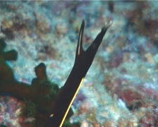 Juvenile Blue ribbon eel gaping, Rhinomuraena quaesita, UP11423 Stock Footage
