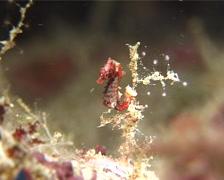 Satomi's pygmy seahorse, Hippocampus satomiae, UP11430 Stock Footage