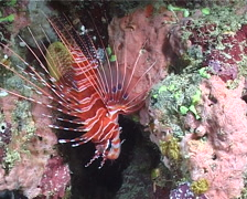 Ragged-fin lionfish, Pterois antennata, UP11454 Stock Footage