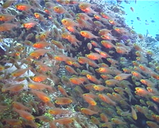 Golden sweepers swimming and schooling, Parapriacanthus ransonneti, UP11481 Stock Footage