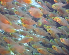 Golden sweepers swimming and schooling, Parapriacanthus ransonneti, UP11480 Stock Footage