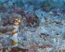 Splendid garden eel feeding, Gorgasia preclara, UP11487 Stock Footage