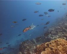 Grey reef shark swimming, Carcharhinus amblyrhynchos, UP11526 Stock Footage