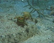 Panther flounder, Bothus pantherinus, UP11583 Stock Footage