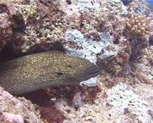 Yellow edged moray, Gymnothorax flavimarginatus, UP11593 Stock Footage