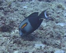 Orangeband surgeonfish feeding, Acanthurus olivaceus, UP11602 Stock Footage