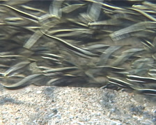 Juvenile Striped catfish feeding and schooling, Plotosus lineatus, UP11624 Stock Footage