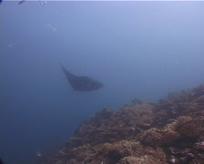 Reef manta ray swimming on shallow coral reef, Manta alfredi, UP11644 Stock Footage