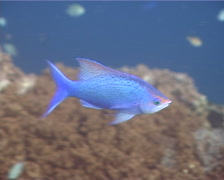 Purple Queen's anthias swimming, Pseudanthias pascalus, UP11668 Stock Footage