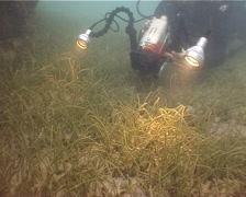 Videographer taking images on seagrass meadow with Starry moray Noodle seagrass Stock Footage