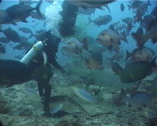 Beqa shark feed expert feeding in fish feeding arena with Giant trevally Red Stock Footage