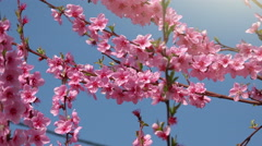 Peach tree branch pink blossoming in spring Stock Footage