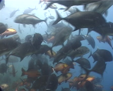 Ocean scenery frenzied activity, in fish feeding arena, UP11786 Stock Footage
