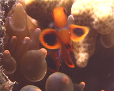 Spine-cheek Anemonefish hovering, Premnas biaculeatus, UP11810 Stock Footage