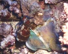 Common reef octopus feeding, Octopus cyanea, UP11848 Stock Footage
