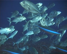 Bigeye trevally swimming and schooling, Caranx sexfasciatus, UP11871 - stock footage
