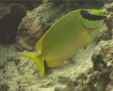 Masked rabbitfish swimming, Siganus puellus, UP11890 Stock Footage