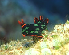 Dusky green spot orange gill black slug, Nembrotha kubaryana, UP11899 Stock Footage